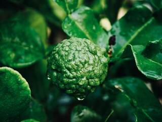 Fresh bergamot fruits on the tree. Can be used for cooking.Bergamot with water droplets