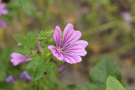 """Violet """"Dwarf Mallow"""" flower (or Buttonweed, Cheeseplant, Cheeseweed, Common Mallow, Roundleaf Mallow) in Innsbruck, Austria. Its scientific name is Malva Neglecta."""