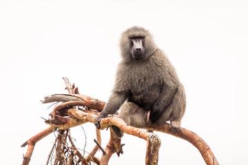 Fotorolgordijn Aap Baboons monkey siting on branch during safari in National Park of Ngorongoro in Tanzania. Wild nature of Africa