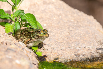 Frog in a pond Wall mural