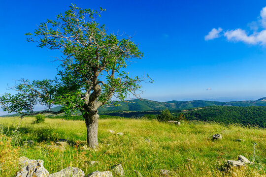 Oak tree and landscape on Mount Meron, the upper Galilee