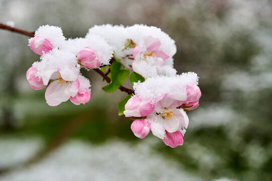 Blossoms of apple trees are covered with snow