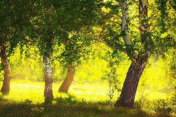 Poster Geel Green birch trees on the forest meadow at sunset. Selective focus. Beautiful summer landscape