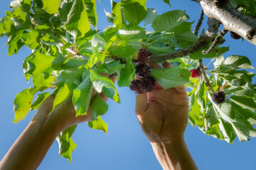 ramo di ciliege durante la raccolta manuale dei frutti