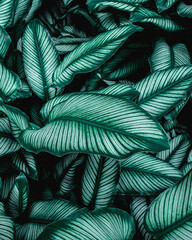 Wall Mural - closeup nature view of green leaf background, dark wallpaper concept, tropical leaf