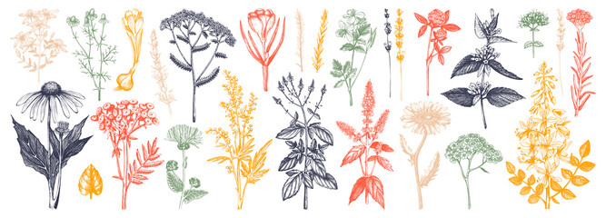 Medicinal herbs collection. Vector set of hand drawn summer florals, herbs, weeds and meadows. Vintage plants illustration. Botanical elements in engraved style. Wild flowers outlines set.