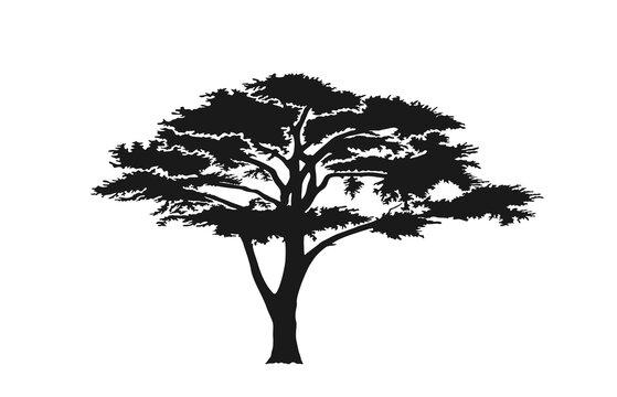 acacia tree silhouette. australian and african tree