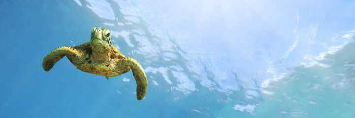 Foto op Plexiglas Schildpad Green sea turtle above coral reef underwater photograph in Hawaii