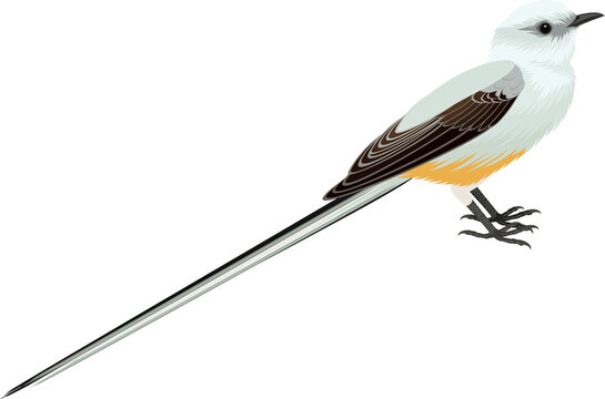 vector Scissor tailed Flycatcher illustration