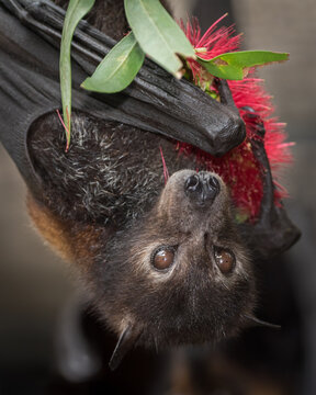 A black flying fox licking pollen off a bottlebrush flower at a wildlife rescue facility in Kuranda.  Flying foxes are keystone pollinators of the surrounding rainforests.