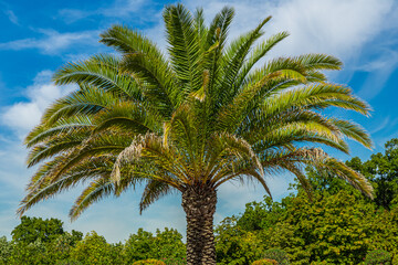 Silver date palm (Phoenix sylvestris robustra) also known as Indian date, sugar date palm or wild date palm.