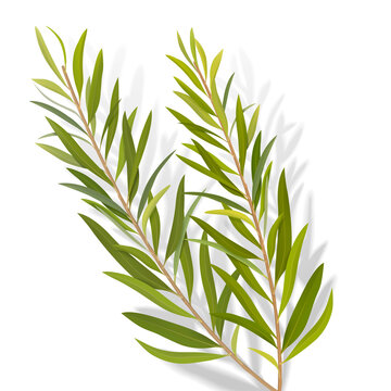 Set of tea tree leaves