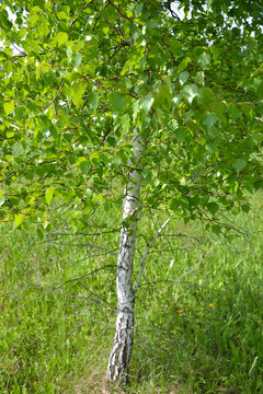 Young birch with green leaves in warm colors