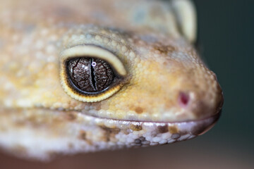 close up of a chameleon Wall mural