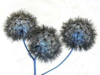 abstract negative pic:  three dandelion flowers over white background