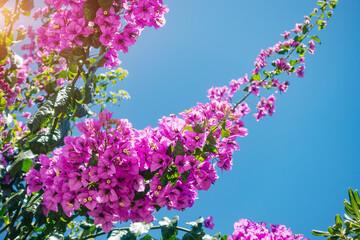 壁紙(ウォールミューラル) - Delightful lush flowers in sunlight against blue sky.