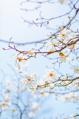 Wall Mural - Gorgeous lush magnolia flowers in sunlight against blue sky.