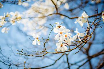 壁紙(ウォールミューラル) - Gorgeous lush magnolia flowers in sunlight against blue sky.