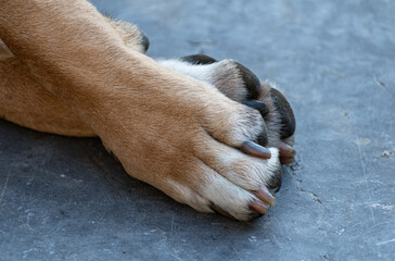 Closeup of big dog front paws resting on pavement