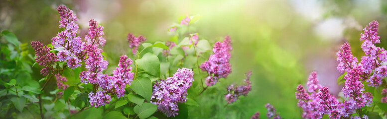 Branches of lilac flowers. Lilac shrubs flowering in spring time. Spring banner. Floral background.