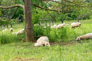 Fotoväggar - sheep and lambs