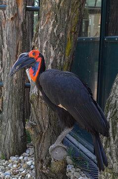 bird abyssinian ground hornbill or northern ground hornbill (Bucorvus abyssinicus)