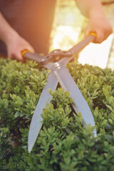 Bare hands of unknown gardener are trimming green bush using sharp hedge shears on his backyard. Worker clipping hedge in summer sunny day. Close up