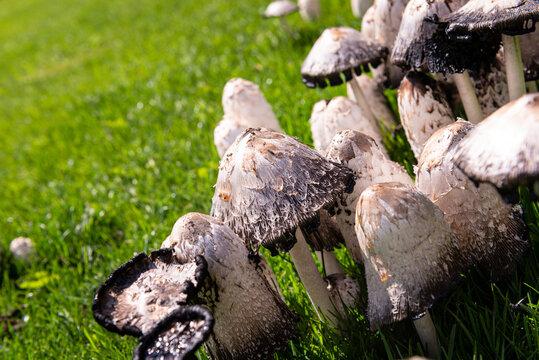 Morchel und andere Pilze auf einer Wiese