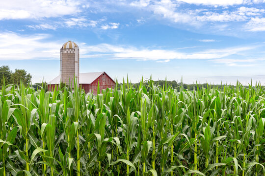 Classic Red Barn in a Corn Field