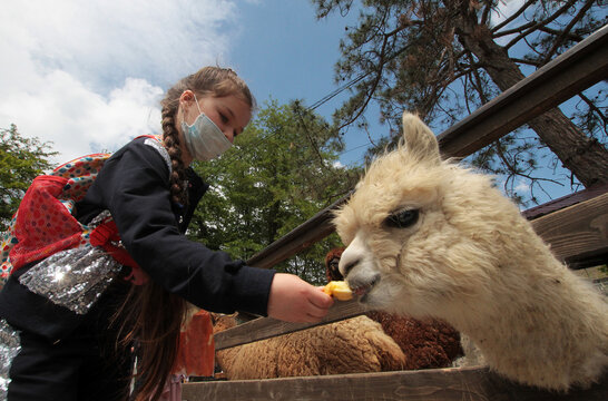 A girl feeds a miniature llama in a zoo reopened following loosened lockdown restrictions amid the coronavirus disease outbreak in Bakhchysarai