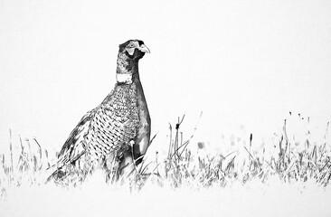 Ringneck Pheasant (Phasianus colchicus) sketch