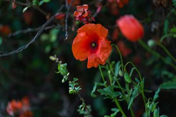 Obraz Kwitnący, czerwony mak, otwarty kwiat - fototapety do salonu