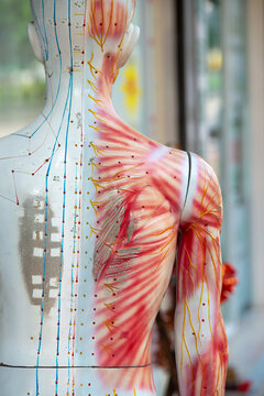 Medical training dummy with channels and points for acupuncture treatment. High quality photo