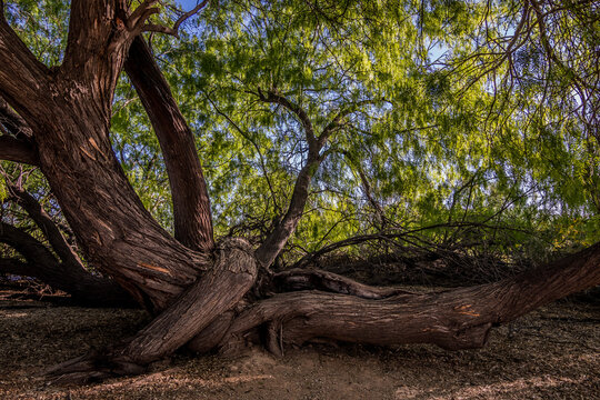 Mesquite trees with roots in summer in Arizona desert