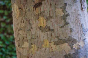 Eucalyptus bark texture close up. Nature background