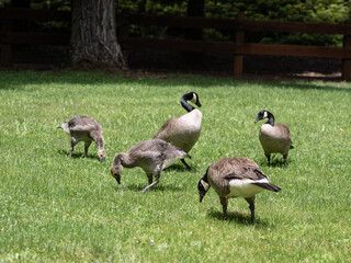 Goose watching over its goslings