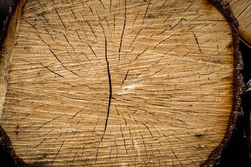 Fototapeta Belka, pień ściętego drzewa widziana od przodu, widoczne słoje obraz