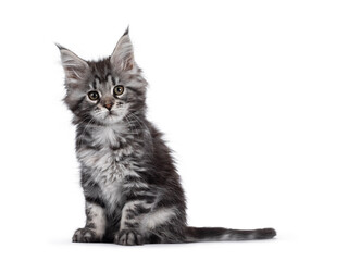 Wall Mural - Expressive silver tabby Maine Coon cat kitten, sitting side ways. Looking at lens with attitude. Isolated on white background.