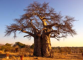 huge baobab tree at sunrise