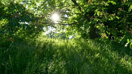 Wall Mural - Sunrise in park. Walking among rich green flora and in shade of blooming chestnut tree. Sunrays getting through. Steadicam shot, UHD