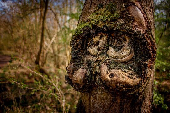 A tree in an English forest that resembles the face of an old man with a handlebar moustache