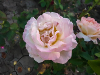 A warm southern evening. Roses in the Park Anapa.
