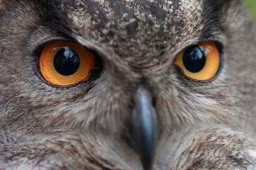 Eagle owl close up portrait