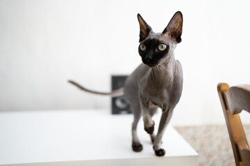 Sphynx cat stands on a white table on a white background looks away. Fotobehang