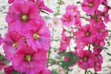 赤紫色の立葵の花