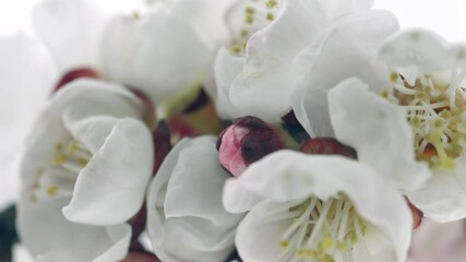 Fotoväggar - Spring flowers opening. Beautiful Spring Apricot tree blossom open timelapse, extreme close up. Time lapse of Easter fresh pink blossoming apricot closeup. Blooming backdrop on white 4K UHD