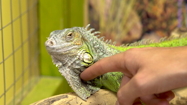 A man stroking an iguana. The iguana shakes her head so that she is not touched. Close-up
