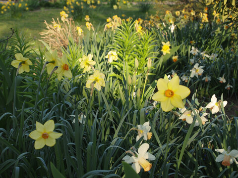 daffodils (Narcissus) in flower at Bethmannpark, Frankfurt am Main, Germany