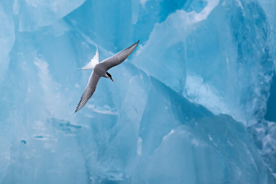 An Arctic Tern swooping in front of an ice berg in the Arctic