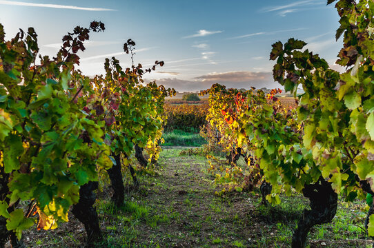 View of a row of vines in autumn in a Languedoc vineyard at sunset